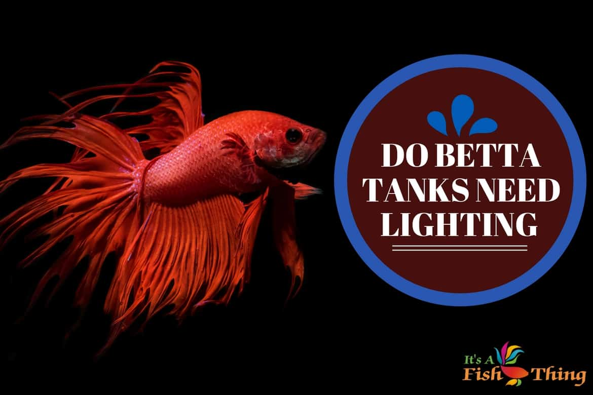 Do betta fish need light written next to a red betta with long flowing fins on black background