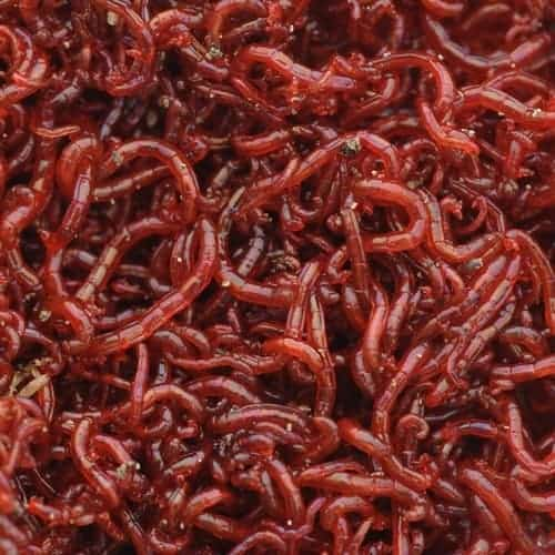 A whole mass of live bloodworms