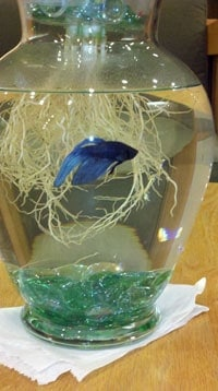 A blue betta in a jar surrounded by roots