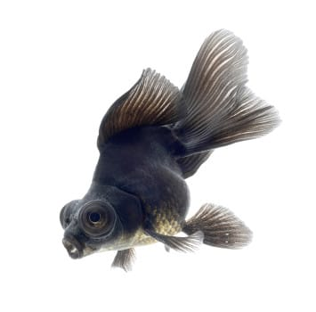 Black moor goldfish side view isolated on white