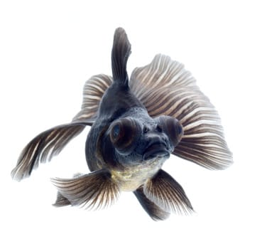 Front view of black moor goldfish on white background