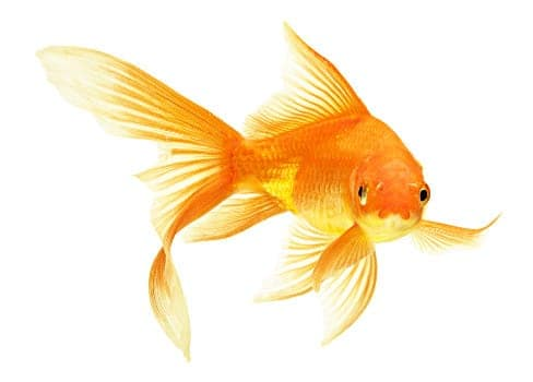 Comet goldfish isolated on white