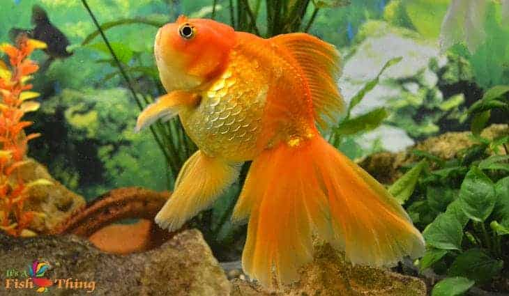 A fancy goldfish swimming upright in a planted tank
