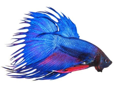Side view of a blue, crown tail type of betta on a white background