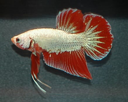 red and white dragon betta on a dark grey background