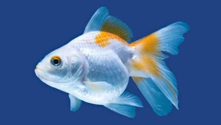 Side view close up of fan tail goldfish isolated on blue background