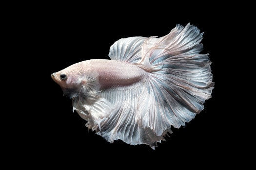 an opaque, pastel colored betta on a black background