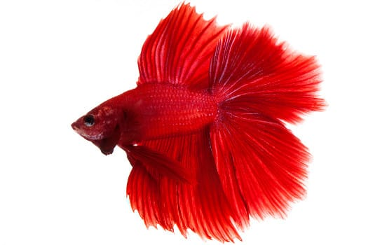 Solid red betta fish on white background