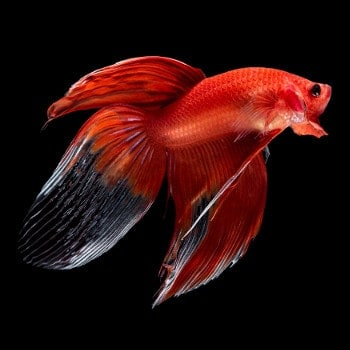 Red, veil tail type betta fish on black background