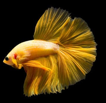 A slid yellow betta on black background