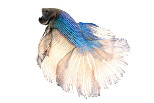 A bicolor betta with blue body and translucent white fins on a white background