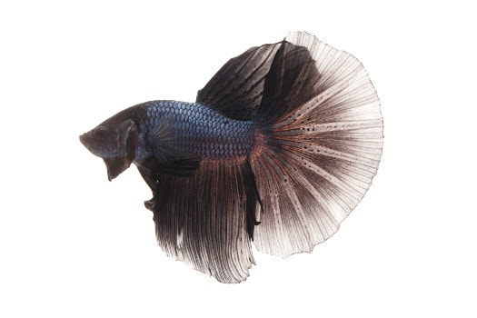 An all black betta on a white background