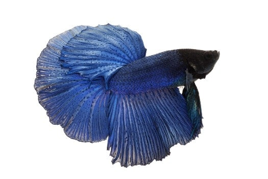 An all blue betta on a white background