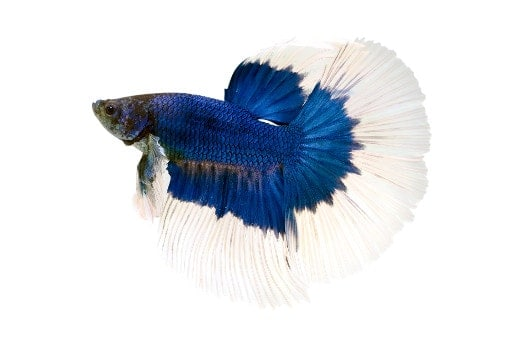 A blue and white butterfly betta on white background