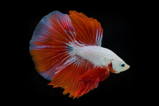 Red and white cambodian pattern betta on black background