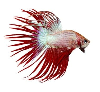 Red crown tail type betta fish on white background