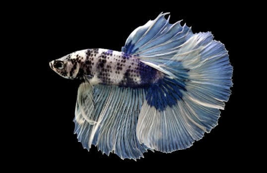 side view of a blue and white marbled betta on white background