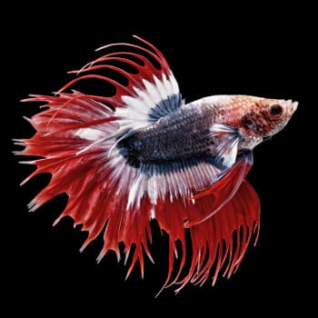 A red, black and white multi-colored betta on black background