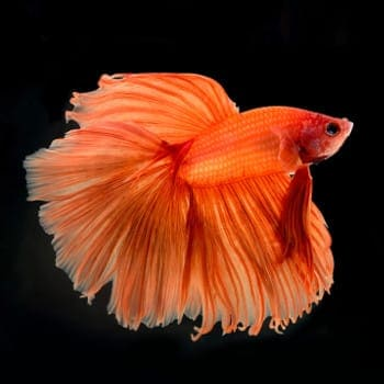 An all orange betta on a black background