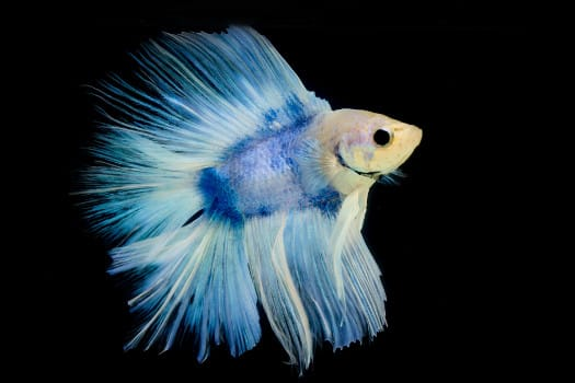 A pale faced, yet mostly blue bodied piebald betta fish on black background