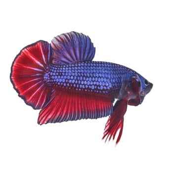 A blue and red, metallic looking plakat betta on white background