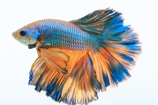 A rose or feather tail betta on white background