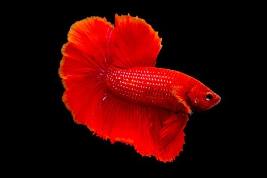 A solid red betta fish, red body and fins, on a black background