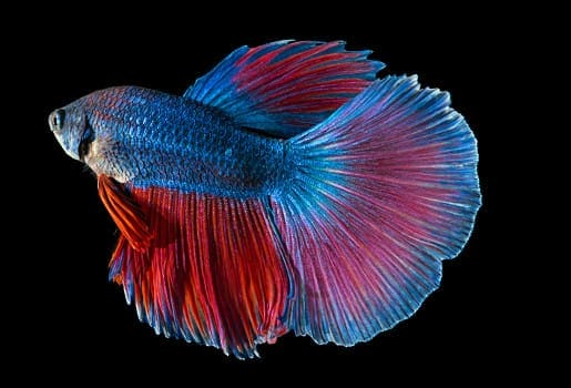 Variated blue and red super delta tail type betta on black background