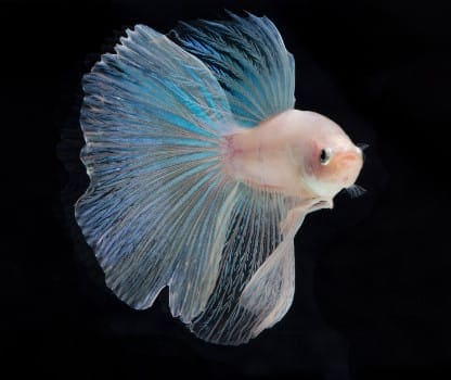A Cellophane Betta isolated on black
