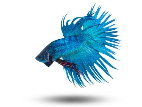 A turquoise blue betta isolated on white