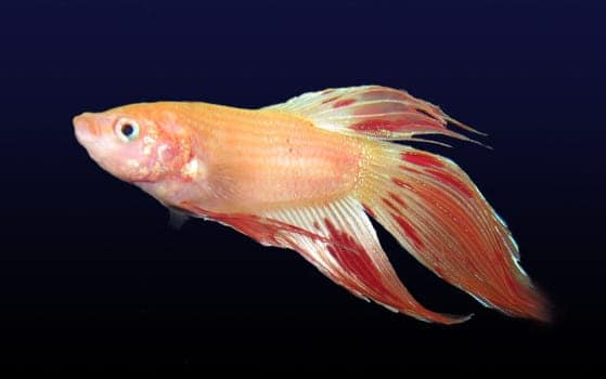 Orange Dalmation Betta isolated on black