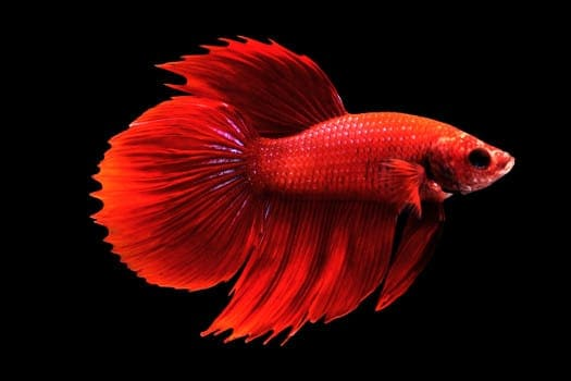 A red Round Tail Betta isolated on black