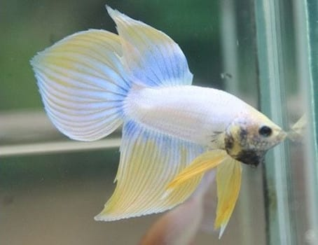 Close up of white Spade tail betta