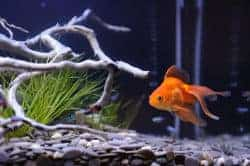 A gravel bottom fish tank with single goldfish