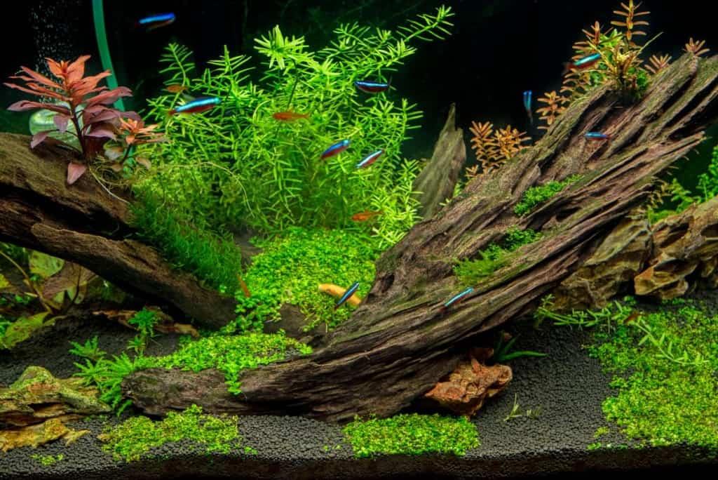 an aquascapd aquarium with driftwood, plants and a neon tetras