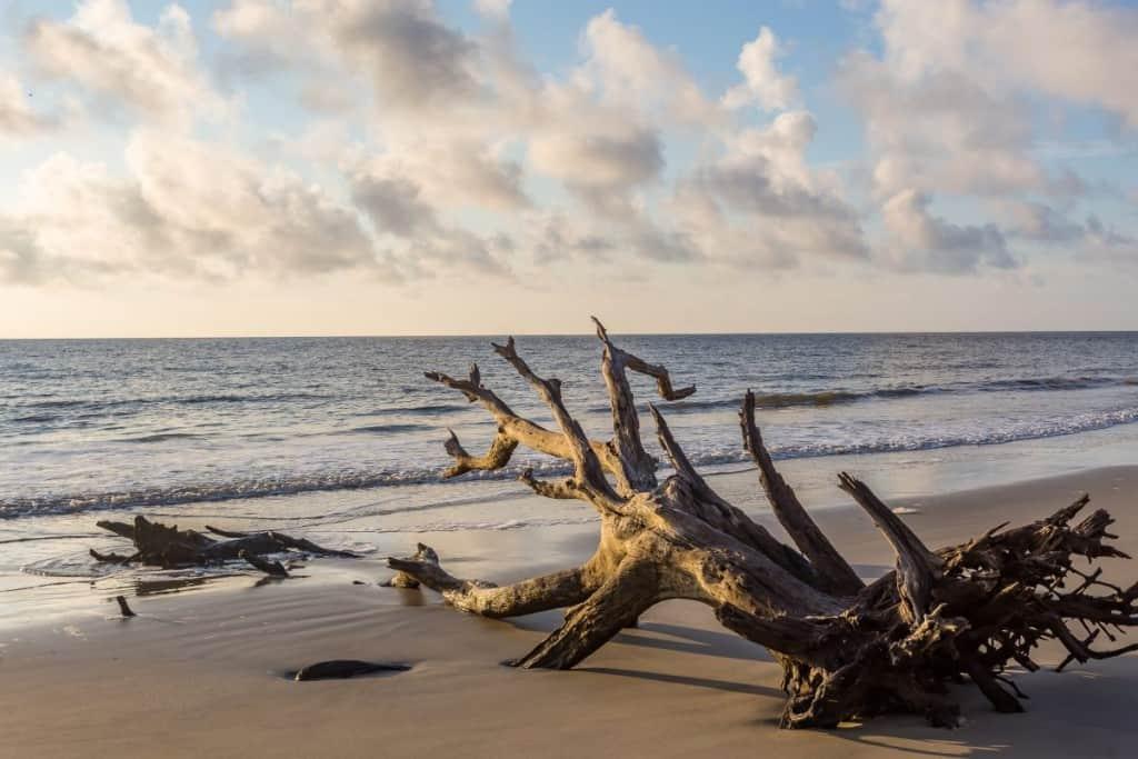 A large driftwood tree on a sandy beach