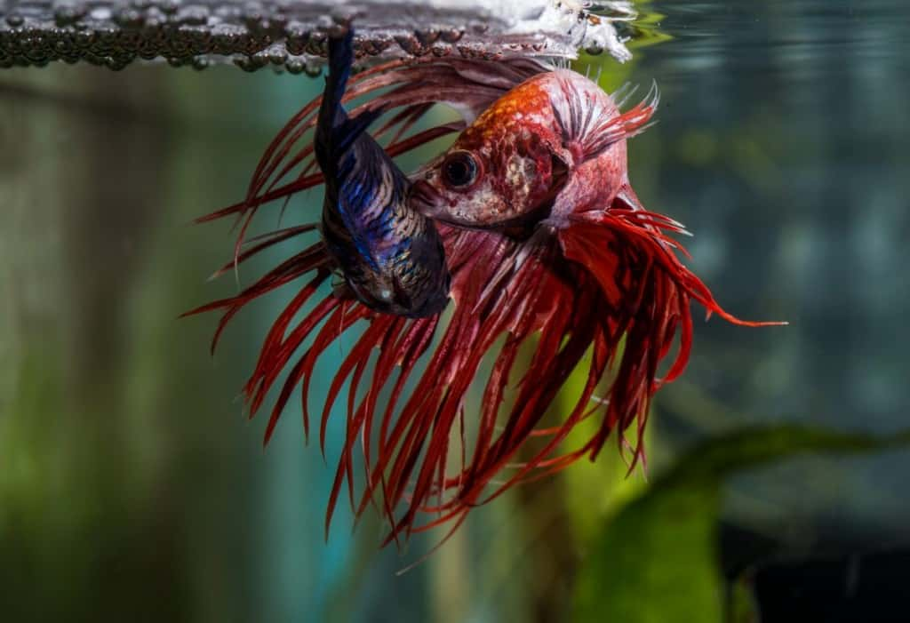 Siamese fighter (Betta splendens) male and female spawning and hugging under bubble nest