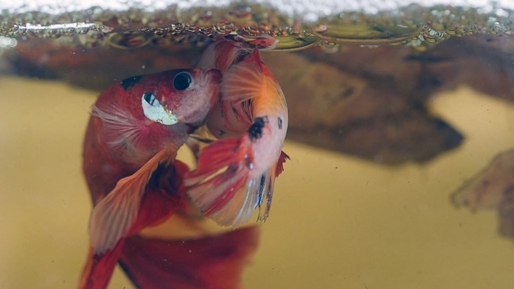 male amd female betta fish spawning under a bubble nest
