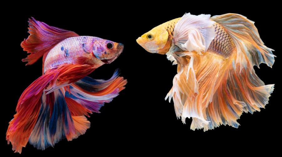 Two betta fish facing each other, isolated on black