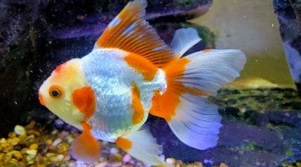 A large orange and white goldfish