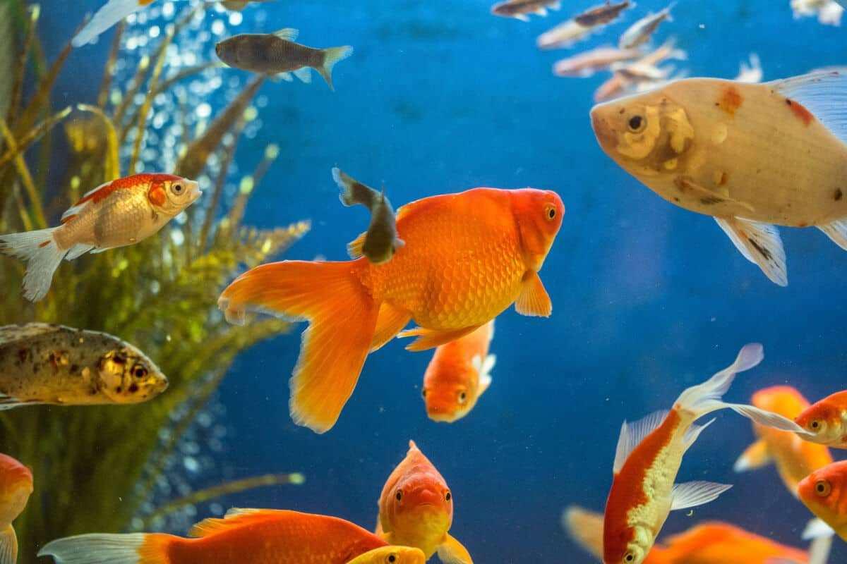 A collage of different types of goldfish in an aquarium