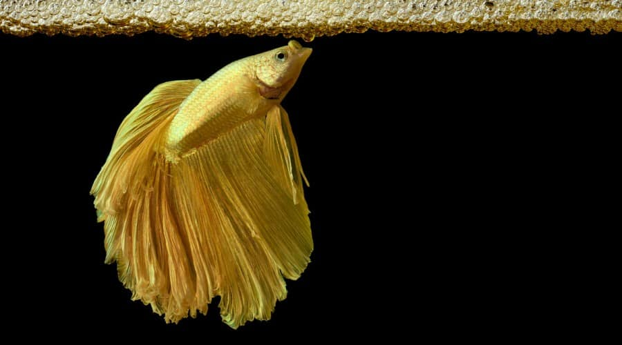 Yellow betta under a bubble nest against a black background
