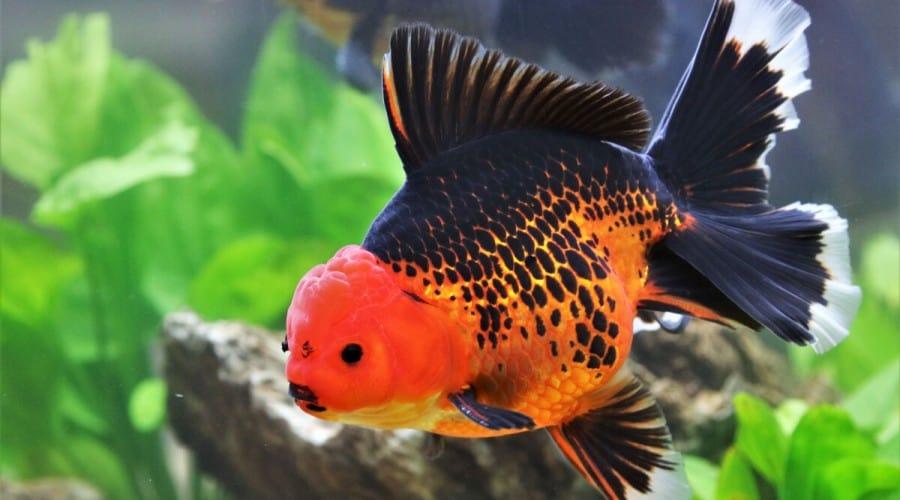 An orange and black goldfish in a planted tank