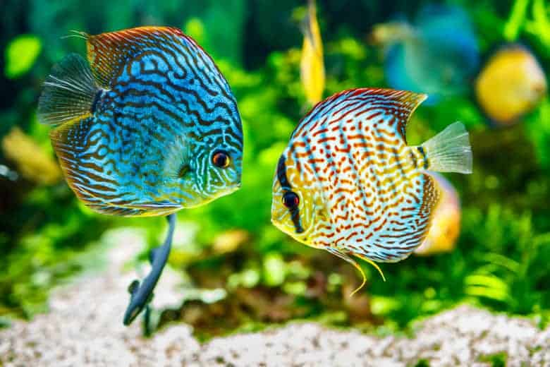 Close up of two discus fish facing eachother in front of green aquarium plants