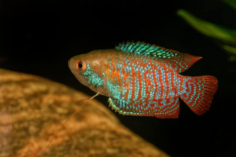 A dwarf gourami on a black and blurred brown rock background