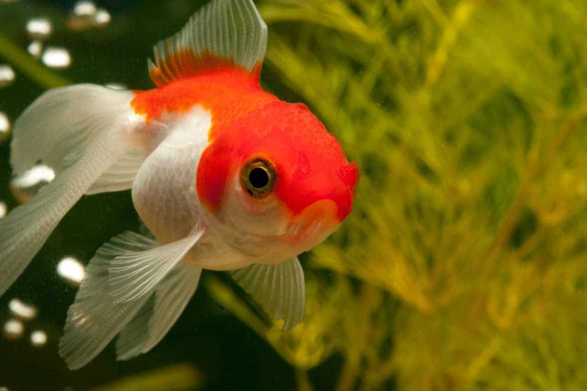 A red and white goldfish swimming toward camera with bubbles in the water