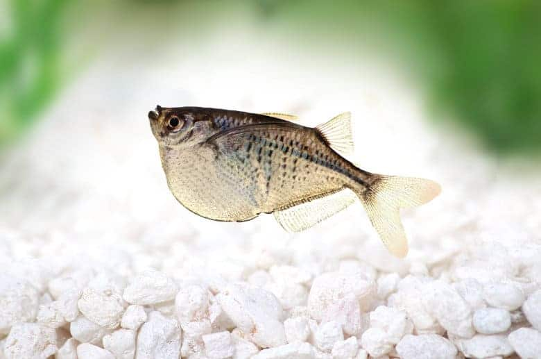 A common hatchetfish in a light gravel bottomed aquarium