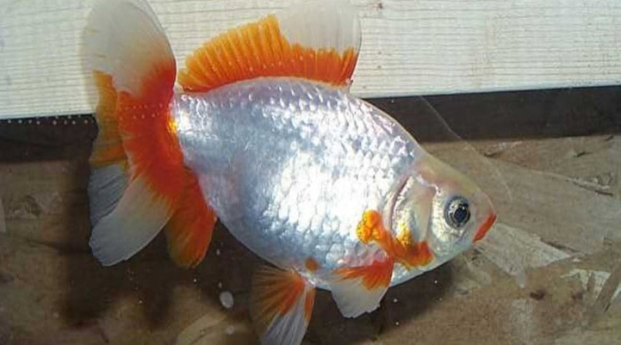 Close up of a solitary red and white Jikin Goldfish