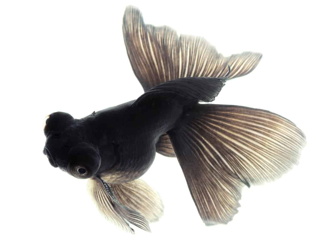 Image of a black moor goldfish isolated on white background