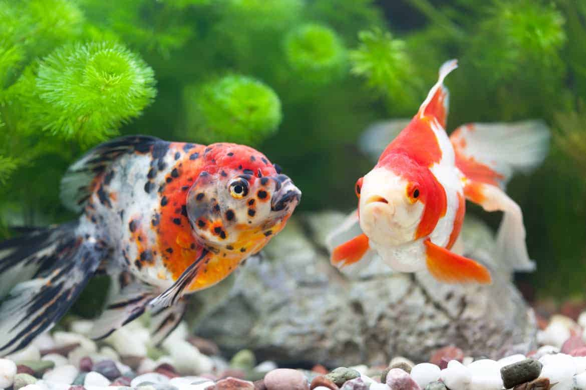 2 multi-colored goldfish looking at each other in front of many green aquarium plants